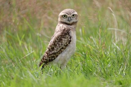 Beautiful Burrowing Owl at green nature background...