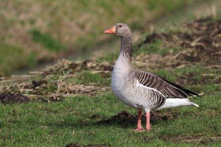 Greylag goose bird