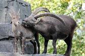 Alpine ibex at nature view