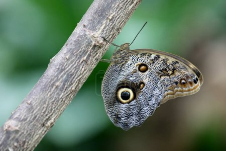 Owl butterfly on a tree, close up view