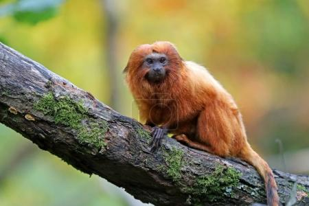 Golden lion tamarin at nature, close up view