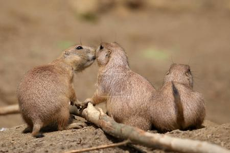 Black tailed prairie dogs, close up
