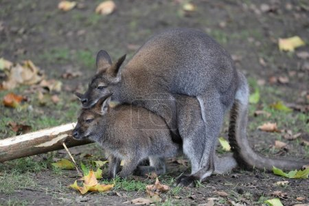 Mating Bennet's Wallabies on background...