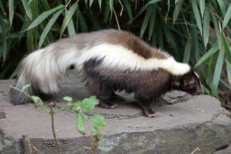 Skunk animal on a rock on background