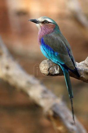 Photo pour Rouleau oiseau assis sur la branche dans l'habitat naturel - image libre de droit