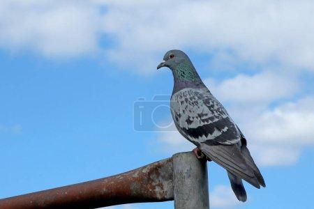 Photo pour Colombe reposant sur une clôture sur fond bleu ciel nuageux - image libre de droit