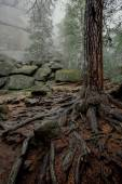 Tree with big twisted roots in dark forest with fog