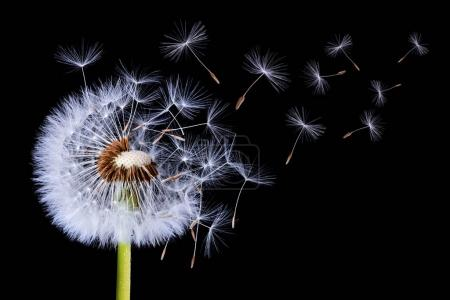 Photo for Dandelion blowing on black background - Royalty Free Image