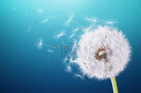 Dandelion flying on blue background