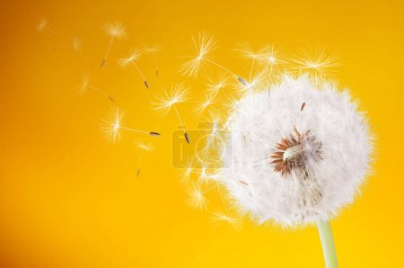 Dandelion flying on yellow background