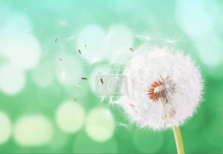 Dandelion flying on bokeh background