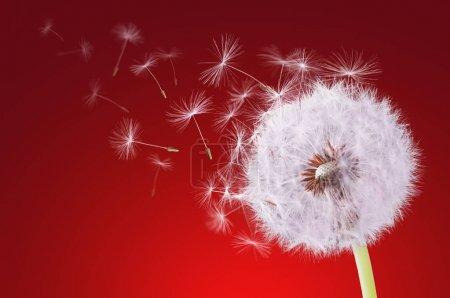 Dandelion flying on red background