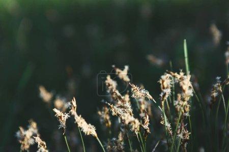 Photo pour Fleurs de prairie sèche contre champ vert de printemps. Fond de nature - image libre de droit