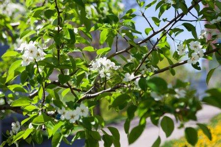 Foto de Fondo de flor de cerezo, primer plano de hermosa rama con pequeños brotes de flor blancos. Primavera suave natural telón de fondo, espacio de copia - Imagen libre de derechos