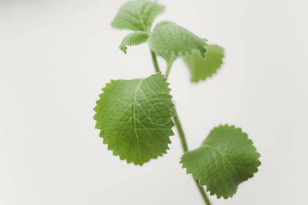 Fresh melissa leaves