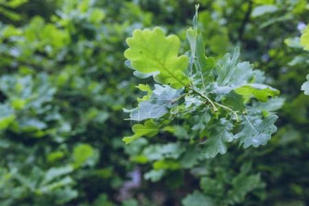 leaves of oak tree in forest
