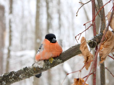 The bullfinch with a red breast sits on a  branch...