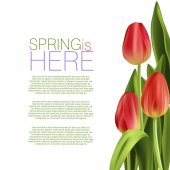 Beautiful Tulip Flowers on white background with text spring is here
