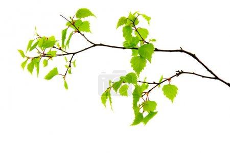 Photo pour Bouleau à rameaux printanier aux feuilles vertes sur fond blanc : - image libre de droit