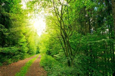 Photo pour Matin dans la brume de la forêt printanière avec des rayons de soleil.Soleil dans la forêt de pins . - image libre de droit