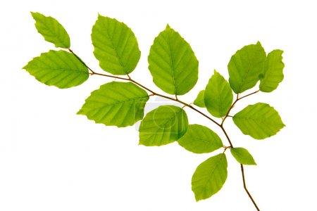 Foto de Rama de un árbol con hojas verdes aisladas sobre fondo blanco. - Imagen libre de derechos
