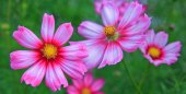 Pink cosmos flowers .