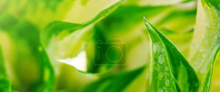 Photo for Abstract green leaf backgrounds and drops of water. - Royalty Free Image