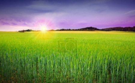 Puesta de sol en campo de cebada verde  .