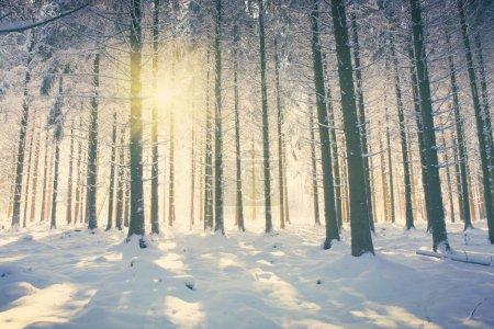Photo pour Lumière du soleil dans la forêt d'hiver . - image libre de droit