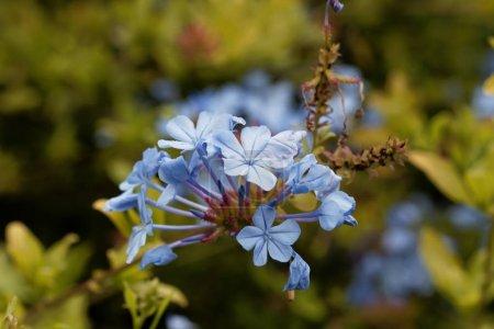 Photo pour Fleurs de Plumbago bleu (Plumbago auriculata), une fleur d'Afrique du Sud . - image libre de droit