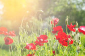 Flowering poppies. A field of poppies. Sunlight shines on plants.
