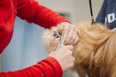 Yorkshire terrier with grooming master in salon