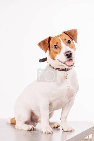 Photo pour Jack Russell Terrier assis devant fond blanc - image libre de droit