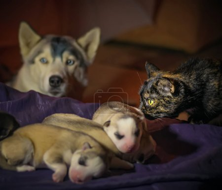 Multicolor cat newborn puppies Husky sleeping on a bed under the care of their mothers.