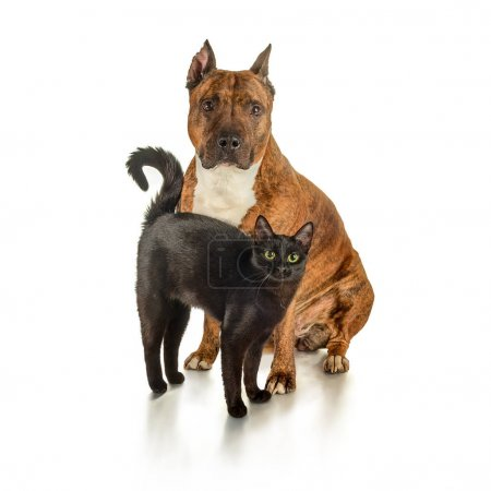 Black cat and striped pit bull
