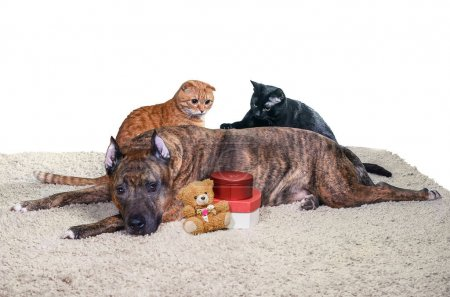 Yellow and black cats entertain themselves behind back of big lying dog