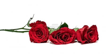 three red roses lying on a white background. the focus on the near rose