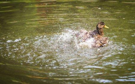 Image of ducks bathing in a cloud of spray in a po...