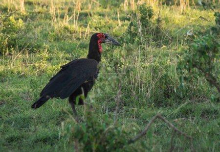 Big black bird with red head in Masai Mara, Kenya