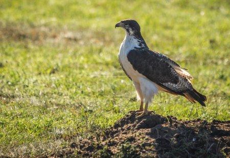 Black and white  eagle in its natural habitat near Nakuru lake i