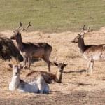 Wild deers on meadow at daytime...