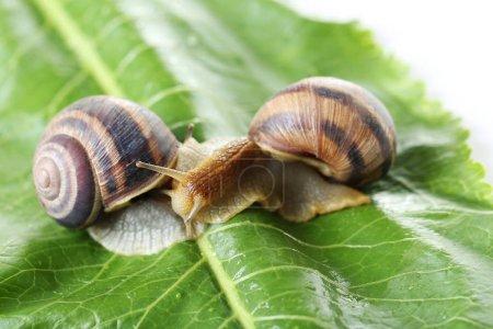 Brown snails on green leaf