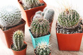 Cactuses in flower pots