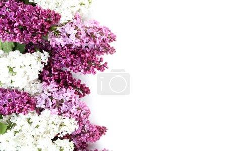 Photo pour Fleurs lilas en fleurs sur le fond blanc - image libre de droit