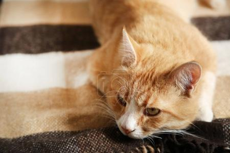 Beautiful ginger cat lying
