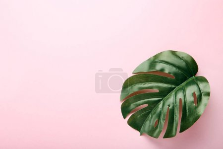 Monstera green leaf on pink background