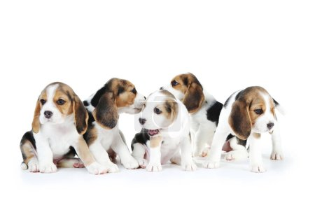 Beagle puppy dogs isolated on white background...