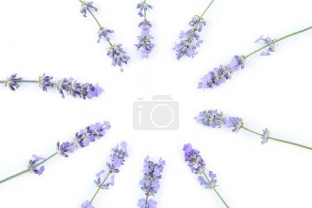 Photo pour Fleurs de lavande isolés sur fond blanc - image libre de droit