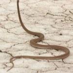 Постер, плакат: Colubrid snake Psammophis lineolatus