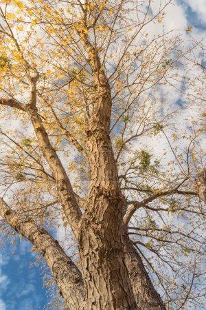 Photo pour Vertical upward perspective vibrant yellow maple leaves changing color during fall season in Dallas, Texas, Usa. Les cimes des arbres convergent vers le ciel bleu. Forêt naturelle ligneuse, couvert de branches d'arbres - image libre de droit